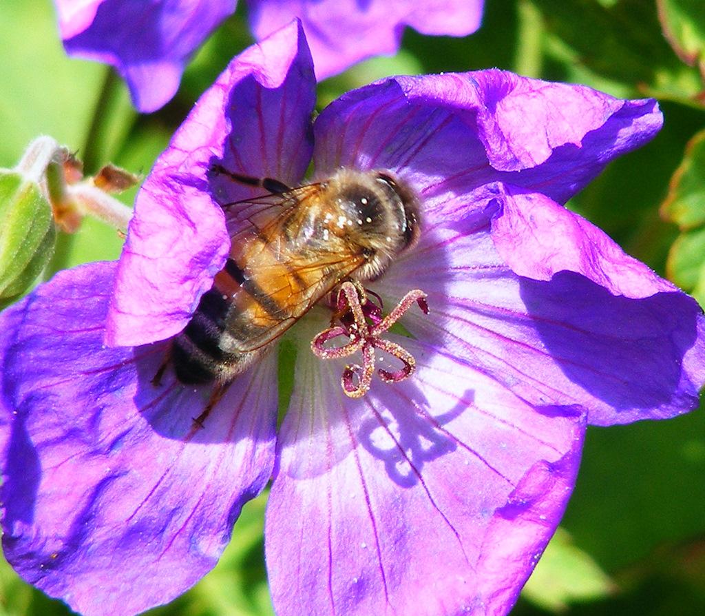 Apis-mellifera-honey-bee-NJ